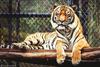 -_- tiger