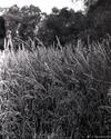 cattails by the lake
